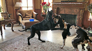 Funny Great Danes argue before sharing breakfast