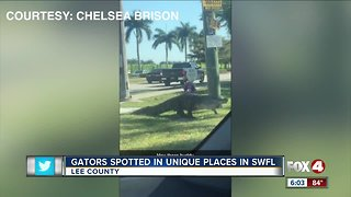 Multiple gators spotted throughout lee county