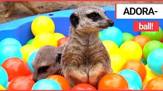 Meerkats play in a ball pit together
