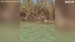 Tartaruga é resgatada de manguezais