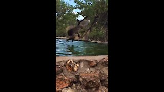 Playful baboon performs acrobatic dive into the water