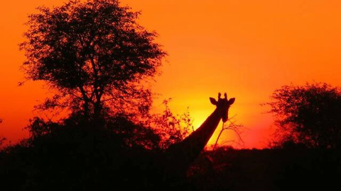 Giraffes display breath taking silhouettes in front of golden sunset
