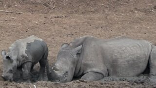 Baby rhino demands space to relax next to mom