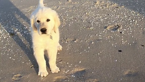 Cute golden Retriever Puppies first time swimming at the beach