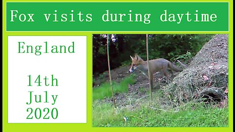 Fox visit by day in our Wildlife Oasis