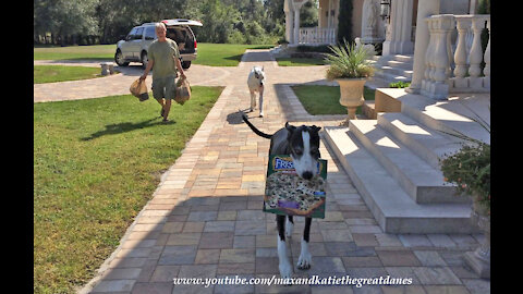 Clever Great Dane helps deliver the pizza groceries