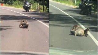 Koalabjørner som sloss stopper trafikken