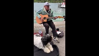 Busking dog sings along with street performer