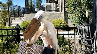 Moluccan cockatoo creates cardboard art