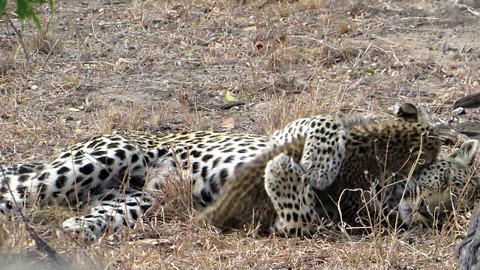Big cat Love: Cute leopard cub plays with mom