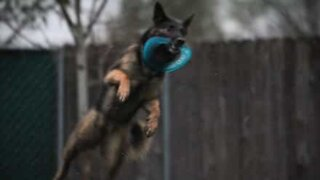 Dog catches three frisbees without dropping any!