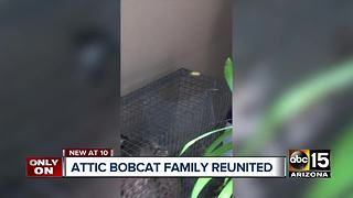 Bobcat family living in Cave Creek attic reunited at conservation center