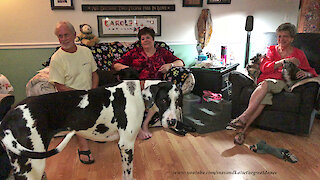 Visiting Great Danes make themselves right at home