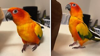 Excited parrot honks and quacks for groceries