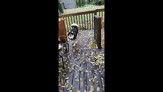 Dog Zoomies - Jumping right over fence