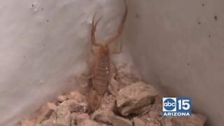 Scorpion Repel and Pest Control can help you keep scorpions and bugs OUT of your home