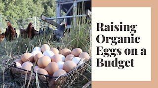 Raising Chickens for Organic Eggs without breaking the BANK