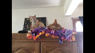 Cats rough house playing