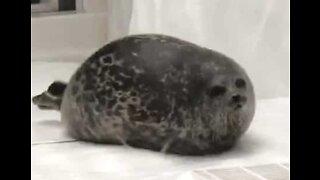 Foca obesa saltita em aquário no Japão