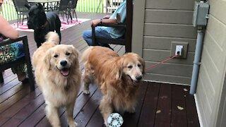 Great Dane Has Fun Playing With Fetching Golden Retriever Friends