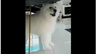 Music-loving dog sings during piano performance