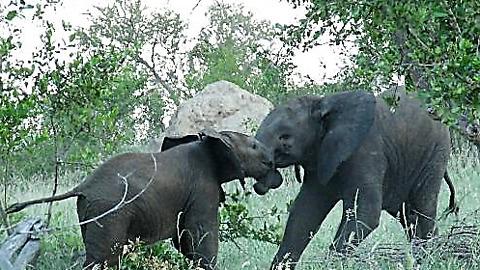 Tenacious baby elephant adamantly head-butts big brother
