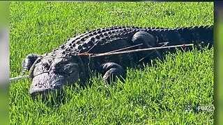 Alligator found tied up, stuck with arrows