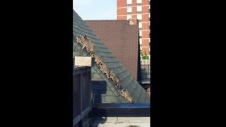 Mother Raccoon Leads Her Five Babies Across Rooftop