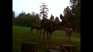 Baby Deer Stalks Apples, Then Cautiously Eats Them!