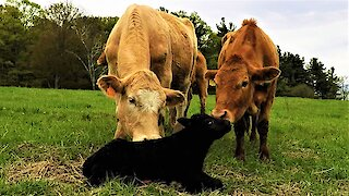 Calf takes his first wobbly steps while mom looks on