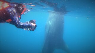Gigantic whale shark cruises around delighted photographers in Mexico