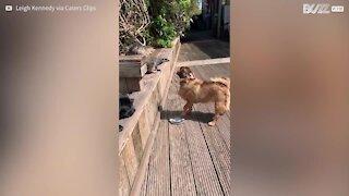 L'improbable amitié entre un suricate et des chiens!