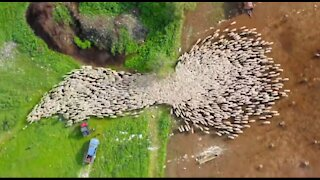 Drone photographer posts epic timelapse of herd of sheep