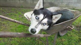 Weirdo husky prefers to nap inside wheelbarrow