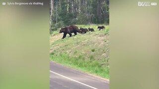 Une famille d'ours fait fermer une route pour traverser
