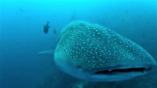 Gigantic whale shark casually swims up to inspect scuba diver