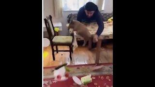 Little Pig Destroyed Family Dinner