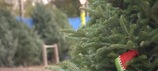 Cost of Christmas trees going up