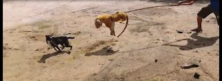 Tiger Running After Dog !!!