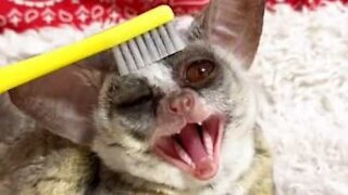 Adorable bush baby loves being brushed!