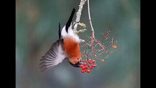 Bullfinch male bird red wildlife animals