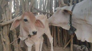Cow love your children #rumbleanimal