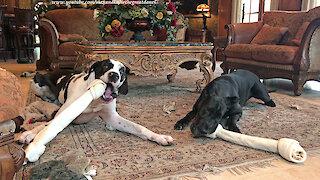 Great Danes really love their new jumbo dog bones