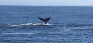 Rare number of blue whales spotted in California