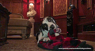 Great Dane Loves Chewing On His Blanket