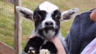 Filhote de cabra saltitante irrita outros animais