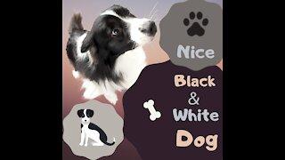Nice black & white dog
