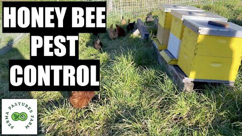 Using Chickens To Protect Our Bees