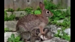 Baby bunnies nursing from devoted mother will warm your heart