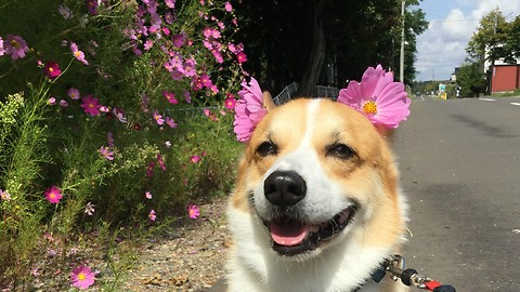 Happy corgi loves pretty pink flowers